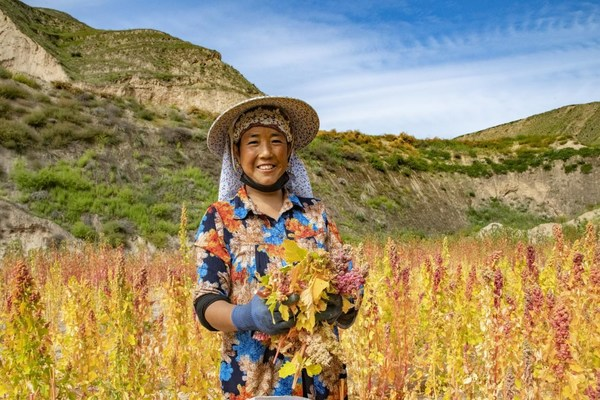 Quinoa Harvest in Dongxiang Autonomous County, Gansu Province, China.
